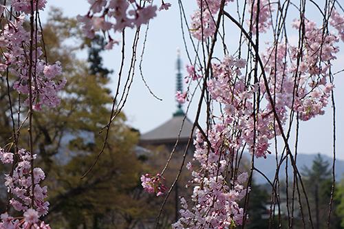 Sakura2.jpg